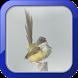 Kicau Burung Ciblek Rawa by Afnan Dev