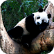 Sleeping Panda Video Wallpaper
