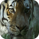 Tigers Video Live Wallpaper by LuckyEdit