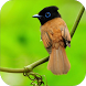 Best Bird Master Chirping Hd by Jehova app