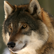live wallpapers wolves by Pretty and cute wallpapers llc