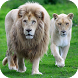 White Lions Wallpapers by Dabster Software