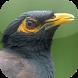 Kicau Burung Jalak Nias by KicauApp