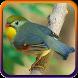 Kicau Burung Robin Juara