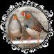 EL CANTO DEL DIAMANTE MANDARIN by Raja Burung App