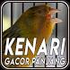 Master Burung Kenari Gacor Panjang by JATstudio