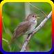 Suara Burung Nightingale Offline