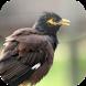 Suara Burung Jalak Nias by Mhmapp Studio