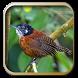 Kicau Burung Wren by berkah js