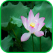Top Lotus Flower Wallpapers by aifzcc.studio