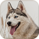 Siberian Husky Wallpapers by birdDev