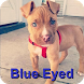 Perros Pitbull Blue Eyed by Warrior apps