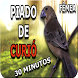 Curió Praia Clássico Repetidor by Raja Burung App