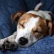 Jack Russell Terrier Jigsaw by redzpetz