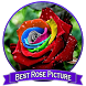 Best Rose Picture by dezapps