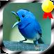 Masteran Burung Ngerol Panjang by Jayakerta Bizz