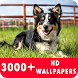 Border Collie Live Wallpapers HD