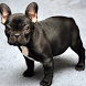 French Bulldog Dogs Puzzles