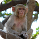 Monkey Wallpapers by Dabster Software Solution