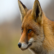 Fox Wallpapers by sangam