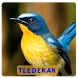 Suara Kicau Burung Tledekan by ABK Games