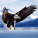 Bald Eagle HD Wallpaper by wallpaperhd