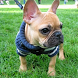 French Bulldog HD Pic Jigsaw