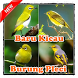 Baru Kicau Burung Pleci by kumpulan lagu dev