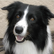 Border Collie Dogs Jigsaw