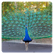 Peacocks logic game by Sergey Vasunenkov