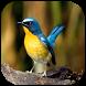 Kicau Burung Lengkap Terbaru by RedBerkah