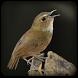 Kicau Burung Cingcoang by Odelya