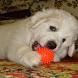 Swiss Mountain Dog Jigsaw by demu0rg