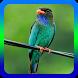 Kicauan Burung Tengkek Buto