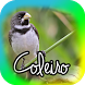 Canto de Coleiro Tui Tui by alpha28 Apps