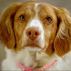 Brittany Spaniel Wallpapers by fansofdogs