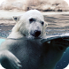 Polar Bear Live Wallpaper by LwpMaster