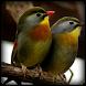 Masteran Burung Betina 2 by Odelya