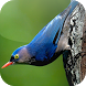 Kicau Burung Rambatan by KicauApp