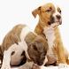 American Staff Terrier Jigsaw by demu0rg