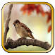 Masteran Kicau Burung Gereja by berkah js
