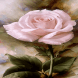 Pink Rose Blooming LWP