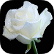 White Rose Live Wallpaper by Revenge Solution