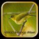 Tips Perawatan Burung Pleci by berkah js