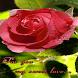 Sweet Rose Live Wallpaper by Daksh Apps