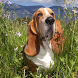 Basset Hounds Wallpapers by fansofdogs