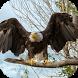 Bald Eagle. Hunters. Wallpaper