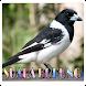 Kicau Pied Butcherbird ( Jagal Papua )