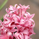 Hyacinths Wallpapers by fryttyteam