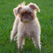 Brussels Griffon Wallpapers by fansofdogs